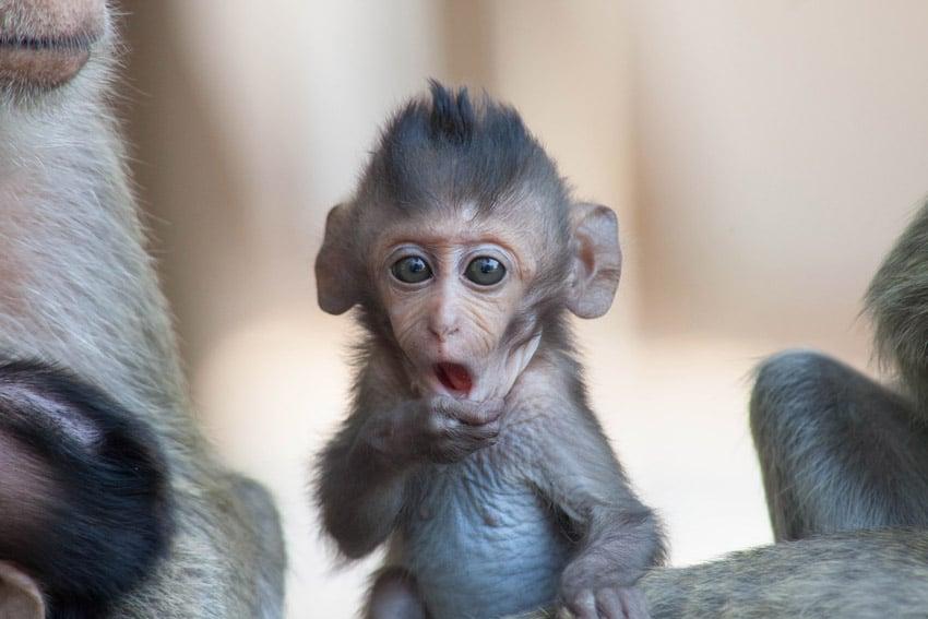 überraschend schauender kleiner Affe